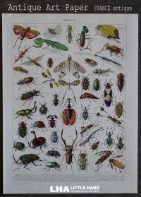FRANCE antique ART PAPER  フランスアンティーク 辞書・図鑑の1ページ [昆虫] 描画 アンティークアート 1930's